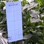 Blue Thrips/Leaf Miner Traps (pack of 10)
